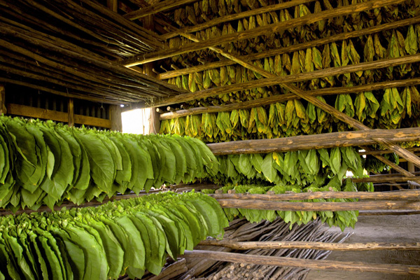 Tobacco Leaf Processing