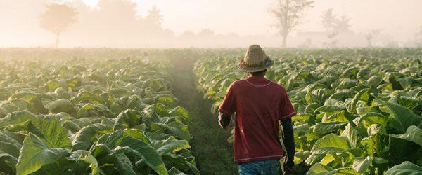Tobacco Leaf Procurement